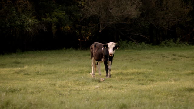 Cow Grazes video