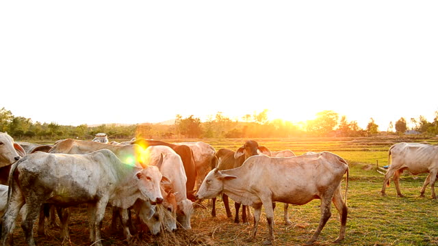 Cow grazing in a sunset meadow video