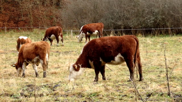 cow grazing in the early winter - giovenca video stock e b–roll
