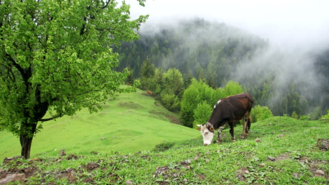 cow grazing on a meadow. top of mountain hill among the clouds. georgia - giovenca video stock e b–roll