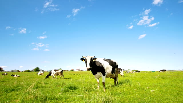 vídeos de stock e filmes b-roll de cow grazing on the pasture looking at camera in sunny summer day - vaca