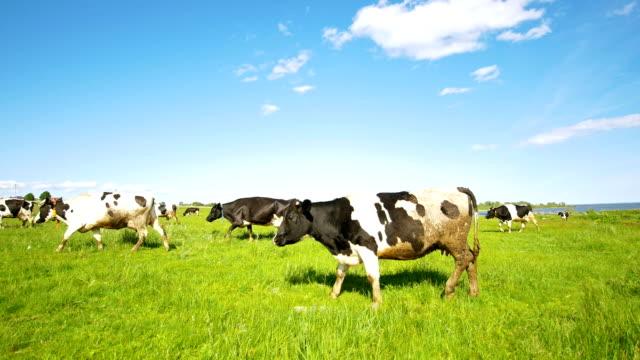 kameraya bakarak güneşli yaz gün içinde mera üzerinde otlatma inek - meme hayvan vücudu bölümleri stok videoları ve detay görüntü çekimi