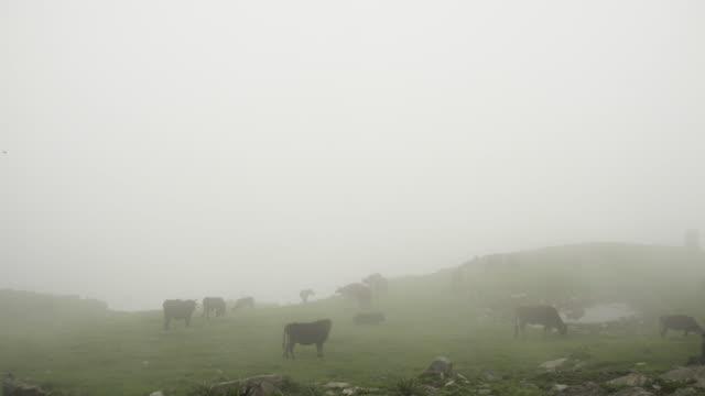 kuhherde in neblige wolke auf alm - himachal pradesh stock-videos und b-roll-filmmaterial