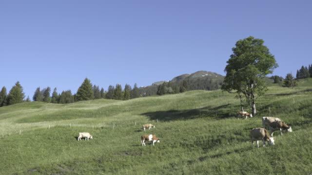 cow besättningen i fältet gräs i grindelwald schweiz - grindelwald bildbanksvideor och videomaterial från bakom kulisserna
