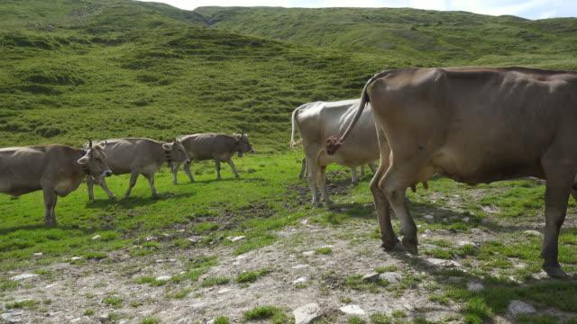 Cow Herd walking on a Swiss Alp path video