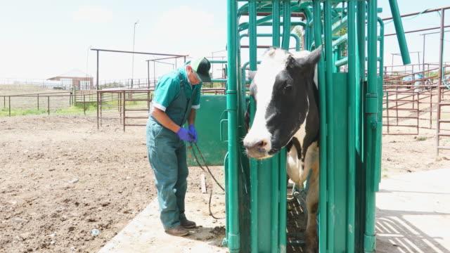 獣医検査のため牛クラッシュで牛します。 - 家畜点の映像素材/bロール