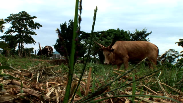 cow in africa video