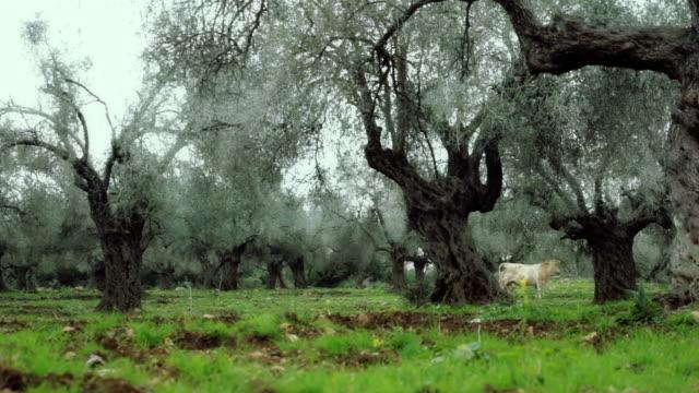 krowa jest paść się na olive garden - styria filmów i materiałów b-roll