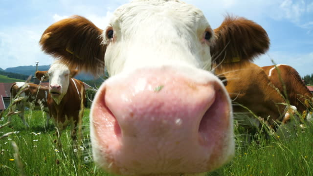 Cow is smelling the camera in the mountains of Southern Germany