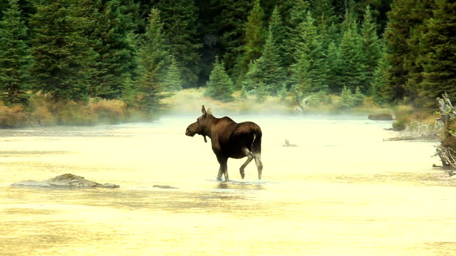 Cow Moose Crossing glowing mountain River video