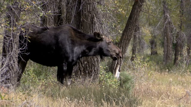 Cow Moose video
