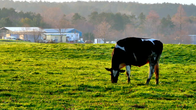 A cow on a farm in the morning eating grass in livestock or agricultural concepts. ビデオ