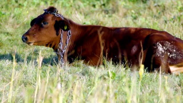 vacca su un pascolo estivo - giovenca video stock e b–roll