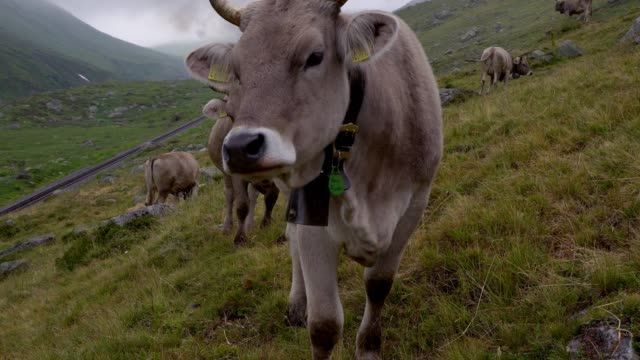 Cow on pasture in Swiss alps