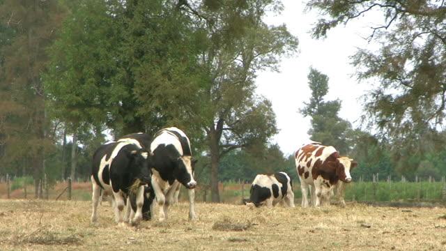 牛の農場 - 家畜点の映像素材/bロール