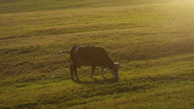 Cow on the pasture - Stock video Cow on the pasture - Stock video cultivated land stock videos & royalty-free footage