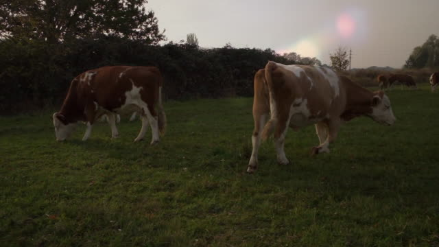 cow on the wies. - colore ciliegia video stock e b–roll