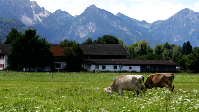 Cow pasture on the Alps Cow pasture on the Alps pasture stock videos & royalty-free footage