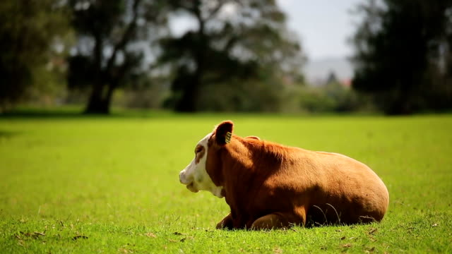 Cow Resting video