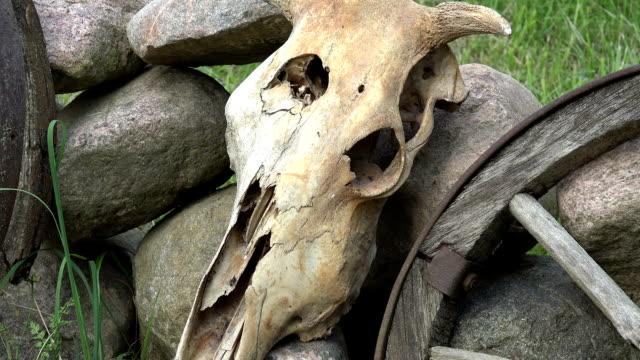 Cow skull on stones video