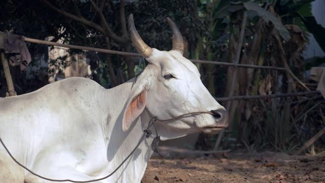 mucca legato con corda in un campagnoli e ruminating - giovenca video stock e b–roll