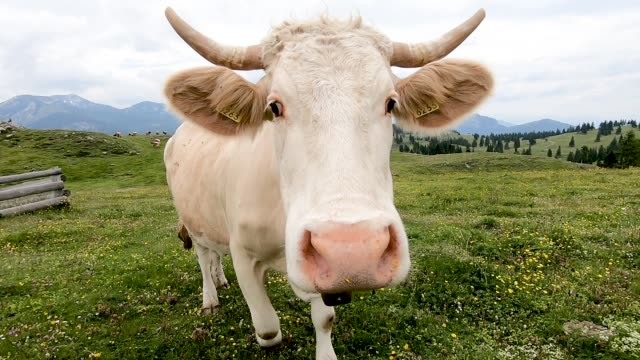 Cow Cow on green field at mountains cultivated land stock videos & royalty-free footage