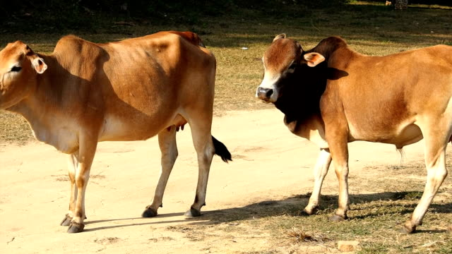 Cow video