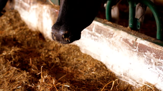 cow - schnauze stock-videos und b-roll-filmmaterial