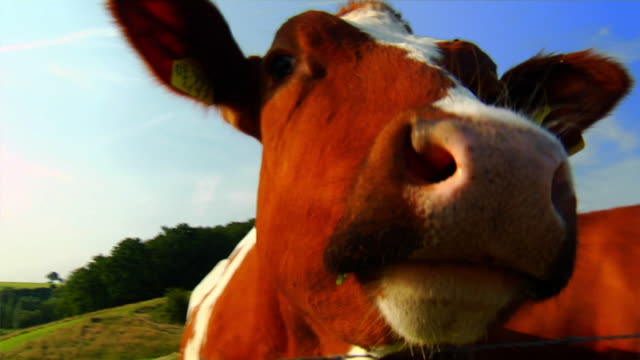 Cow (HD 1080) video