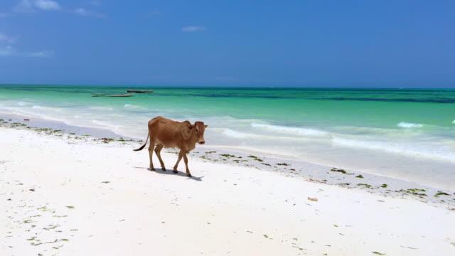 Cow Walking on Sandy Beach in Africa video