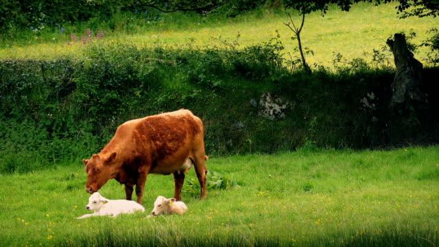 cow promenader över och ser att hennes ungar - djurfamilj bildbanksvideor och videomaterial från bakom kulisserna