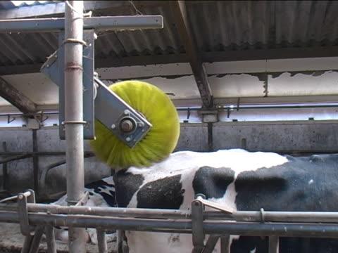 牛のウォッシュ - ブラシ点の映像素材/bロール