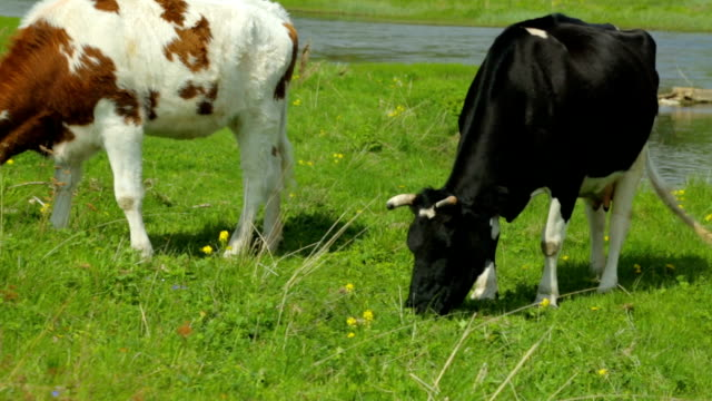 cow with heifer grazing on meadow - giovenca video stock e b–roll
