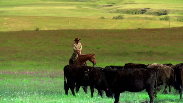Cowboy and Cowgirl  herding cattle on the prairies video