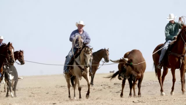 cowboy bull roundup - rodeo stock videos and b-roll footage