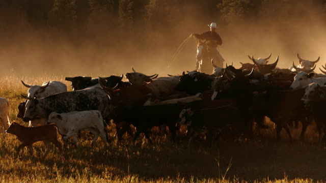 mandria di bovini da cowboy al tramonto, rallentatore - ranch video stock e b–roll