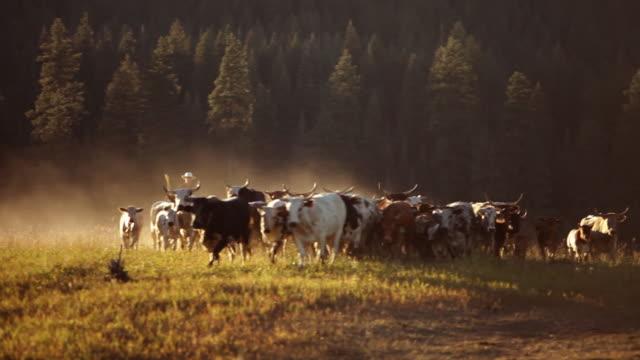 cowboy a cavallo mandria di bovini al tramonto - sella video stock e b–roll