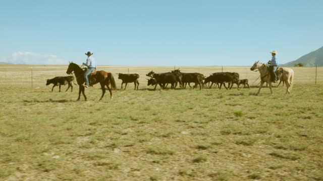 Cowboy Ranchers Working Cattle Cowboy ranchers on horseback working a small herd of cattle in Utah, USA. cattle stock videos & royalty-free footage