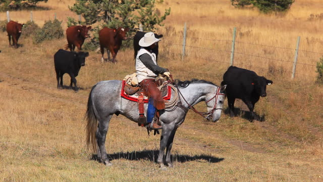 Cowboy trail boss supervising cattle drive video