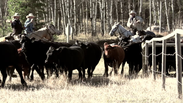 Cowboys herding and counting cattle on yearly roundup video