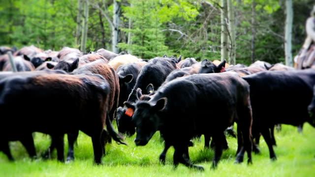 カウボーイズの遊牧がある現場から牛 - 家畜点の映像素材/bロール