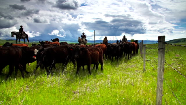 vídeos de stock e filmes b-roll de cowboys pastorear bovinos horseback ao longo de cerca de linha - gado animal doméstico