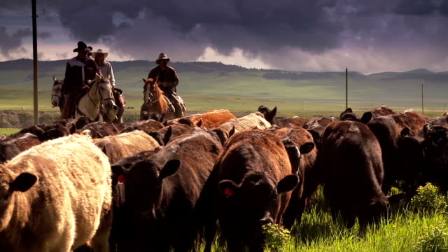 Cowboys herding cattle  horseback under storm clouds