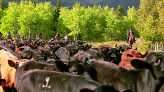 cowboys herding cattle in field - nötkreatur bildbanksvideor och videomaterial från bakom kulisserna