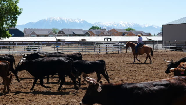 Cowboys lassoing calf on ranch Cowboys lifestyle on the ranch in Utah, United States. Cowboys lassoing the calf rancher stock videos & royalty-free footage