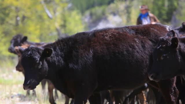 Cowboys on horseback herd cattle video