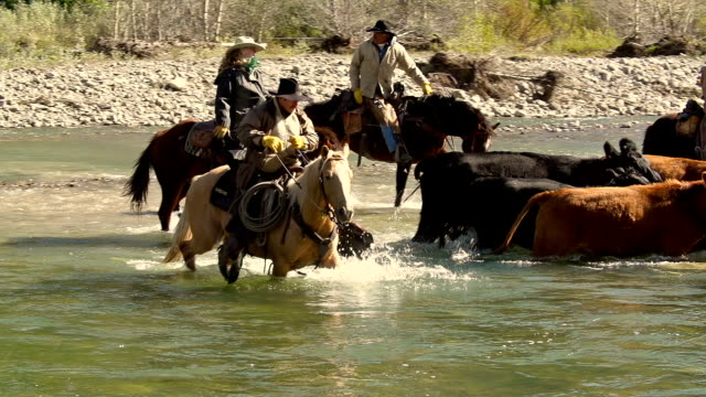 Cowboys  on horseback herding cattle across a river video