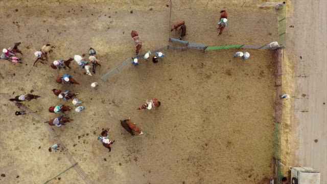 cowboys roping cows for branding - rancher video stock e b–roll