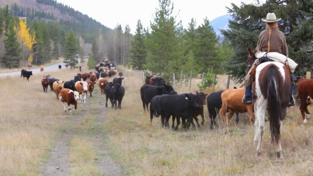 Cowgirl counting cattle on horseback  rancher stock videos & royalty-free footage