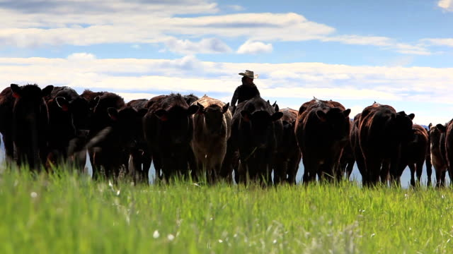Cowgirl herding cattle Cowgirl on horseback  herds cattle in the foothills of the  Rocky Mountains of Canada  rancher stock videos & royalty-free footage
